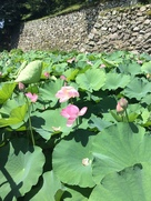内堀に咲き乱れる大賀蓮…