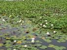 ここのスイレンの花が咲き誇ったら・・・・