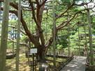 三の丸(芦城公園)の樹齢推定200年のア