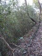 矢竹がいっぱい…