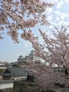 天守遠景と桜