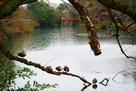鴨と朝陽橋