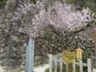 開花する左近乃櫻と「史跡 武田氏館跡」碑