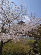 桜に囲まれる天守…