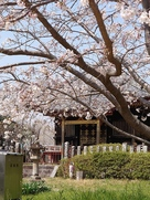 桜と龍華院大猷院霊屋…