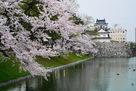 満開の桜と水堀越しの模擬天守…