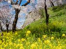 春爛漫の津山城…