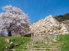 桜と二の丸走櫓石垣…