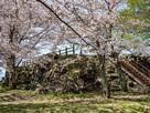 山上の丸天守跡の桜…