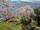 山上の丸出丸と桜…