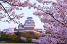 早朝の桜と天守・櫓…