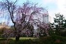 枝垂桜と模擬天守…