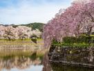 堀と枝垂れ桜