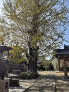 称名寺のいちょうの木…