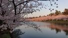 西濠西岸から桜のトンネルを望む…