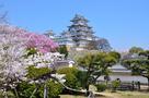 西の丸の桜と大天守(改修前)…
