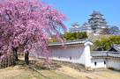 姫路城と西の丸の桜(改修前)…