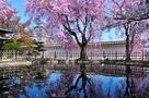 西の丸の桜