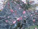 梅林坂の梅(赤)と石垣