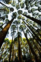 北側登城口の杉…