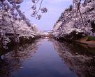 上杉神社の堀端の桜…