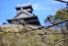 春待つ桜の蕾と綾城…