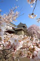 上田城跡公園の千本桜…