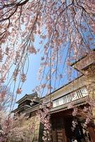 上田城跡公園 千本桜…
