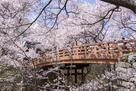 桜につつまれる昼の桜雲橋
