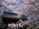 問屋門と桜