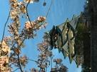 西の丸庭園より桜と天守…
