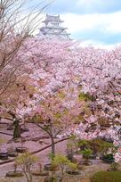 桜尽くしと、萌ゆる牡丹…
