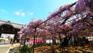 竹鼻別院のフジ…
