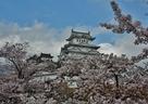 桜が似合う白鷺城…