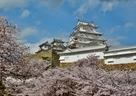 桜と競う美しさ…