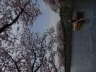 姫路城の春
