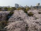 天守台から桜満開の本丸を望む…