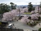 二の丸の桜