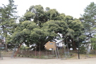 亀城のシイ(県天然記念物)…