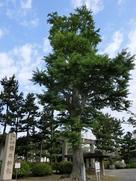 福井神社のイチョウ…