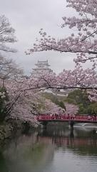 桜花爛漫 白鷺城…