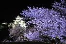 姫路城の夜桜