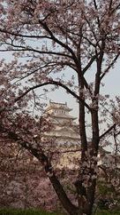 Sakura白鷺