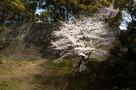 熊本城石垣と桜…