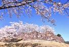 青空の赤木城と桜