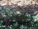 発掘された石垣の石…