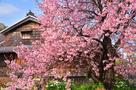 蜂須賀桜と、武家屋敷…