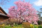 蜂須賀桜 2018