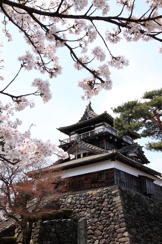 桜と天守[丸岡城]