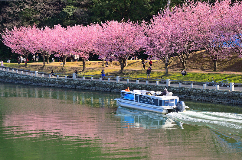 蜂須賀桜、助任川を染めて